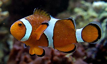 ich clown fish